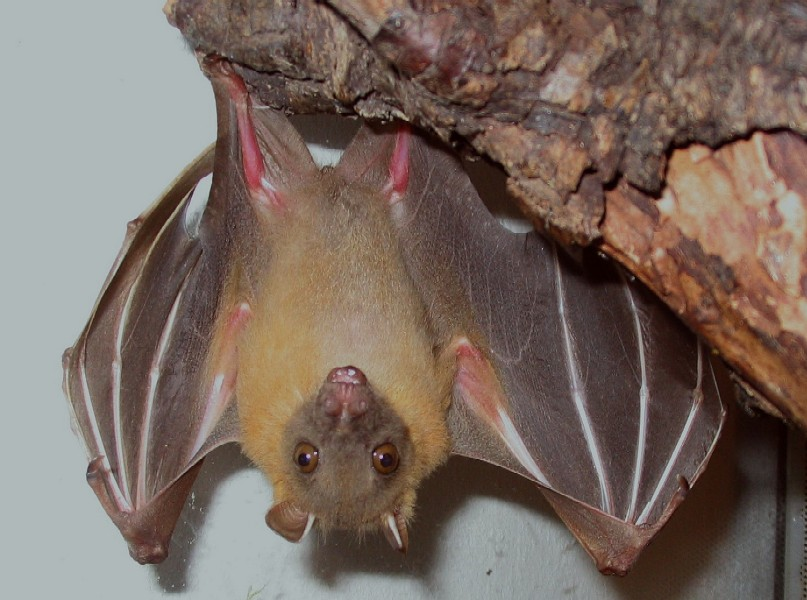 Mindanao pygmy fruit bat